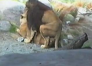 Horny lion fucks a sexy lioness