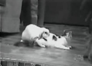 Rabbit's about to fuck a kitty